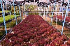 Grönsallat för röd ek arkivfoto