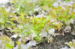 Grönsallat för röd korall, grönsallat i grönsakträdgården Royaltyfri Fotografi