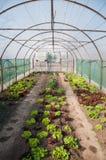 Grönsallat i det gröna huset Royaltyfri Bild