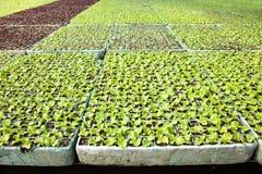 Grönsallat i ett växthus Arkivfoton