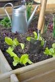 Grönsallat i grönsakträdgård arkivfoton