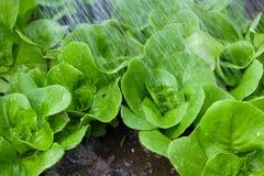 grönsallat planterar litet bevattna Arkivbilder