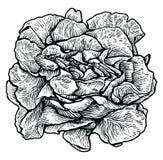 Grönsallat salladillustration, teckning, gravyr, linje konst, grönsak, vektor Vektor Illustrationer