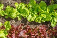 Grönsallat (sativa Lactuca) Royaltyfria Bilder