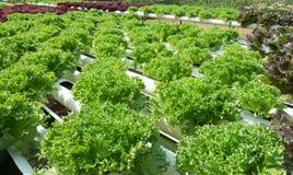 Grönsallat som är fullvuxen med organiska metoder Arkivfoton
