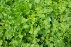 Grönsallat som är fullvuxen med organiska metoder Royaltyfri Foto