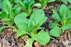 Grönsallat som växer i jorden Royaltyfria Bilder