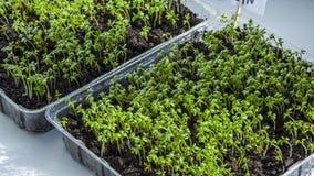 Grönsallat växer på fönsterbrädan Organisk växtväxa-bild arkivbild