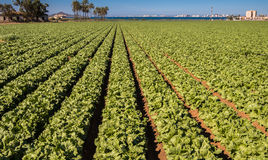 Grönsallater som växer - intensivt modernt jordbruk Arkivbilder