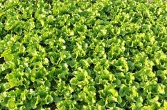 Grönsallatfält Royaltyfria Bilder