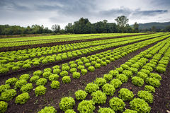 Grönsallatfält Arkivbild