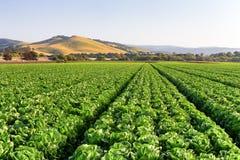 Grönsallatfält i Salinasdalen Royaltyfri Foto