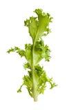 Grönsallatfrisee Arkivfoto