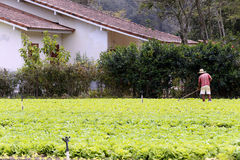 Grönsallatkoloni Arkivfoton