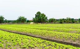 Grönsallatlantgård Arkivfoton