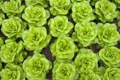 grönsallatrader Arkivbilder