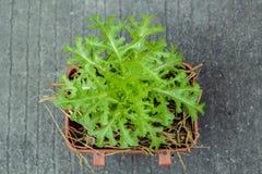 Grönsallatsallad som växer i brun kruka på jordbakgrund Arkivfoton