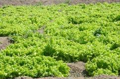 Grönsallatskörd på jordbruksmark Royaltyfri Fotografi