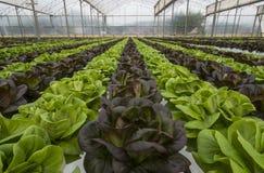 Grönsallatskördar Royaltyfria Bilder