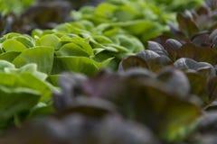 Grönsallatskördar Royaltyfri Bild