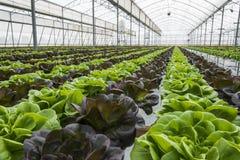Grönsallatskördar i växthus fotografering för bildbyråer