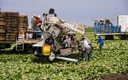 Grönsallatskördarbetare Arkivbild