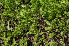 Grönsallatväxt som växer i grönsakträdgården, grönsallatsolljus, Royaltyfria Bilder