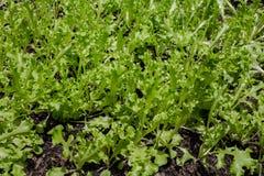 Grönsallatväxt som växer i grönsakträdgården, grönsallatsolljus, Fotografering för Bildbyråer