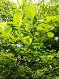 Grönska av trädsidor Arkivfoton