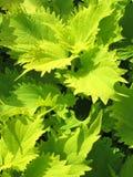Grönska för Coleusväxtbackgroun Royaltyfria Bilder