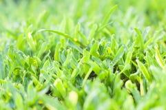 Grönskagräs Arkivbild