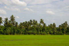 Grönskarisfält med kokospalmer i bakgrunden i bygd av Thailand Arkivbild