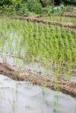 Grönskarisfält under regnig säsong i bygd av Thailand Fotografering för Bildbyråer