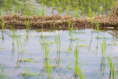 Grönskarisfält under regnig säsong i bygd av Thailand Royaltyfri Foto