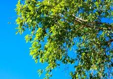 Grönskasidor på bakgrund för blå himmel Sikt för poppelträdfilial royaltyfri fotografi