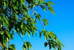 Grönskasidor på grön bakgrund Sikt för makro för poppelträdfilial arkivbild