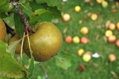 Grönt äpple i ett träd Arkivbild