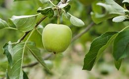 Grönt äpple på äppleträd Royaltyfria Bilder