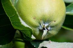 Grönt äppleslut upp makrofotografi i sommar Arkivbilder