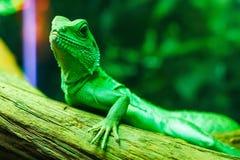 Grönt ödlabasiliscussammanträde på en förgrena sig royaltyfri fotografi