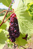 grönt ark för klunga under vine Arkivfoton
