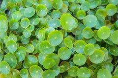 Grönt asiatic Asiatica Pennywort blad eller Centella arkivbilder