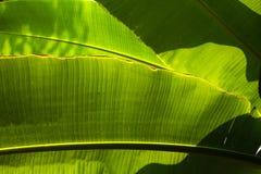 Grönt backlit sol för banan blad royaltyfria foton