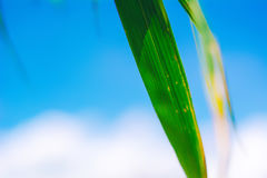 Grönt bambublad på himmelbakgrund bakgrundsbegrepp Royaltyfri Foto