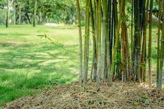 Grönt bambuträd i en trädgård Arkivbild