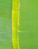 Grönt bananblad Fotografering för Bildbyråer