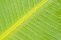 Grönt bananblad Royaltyfri Fotografi