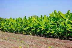 Grönt bananfält, Indien royaltyfri bild
