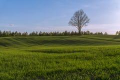 Grönt bergigt fält med det ensamma trädet på horisont och blå himmel Royaltyfria Bilder