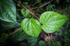Grönt betelblad arkivfoton